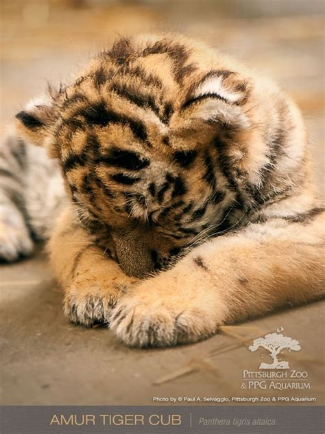 Image result for newborn tiger | Animaux, Animaux sauvages ...