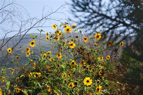 Image result for wild sunflower | Wild sunflower, Wild ...