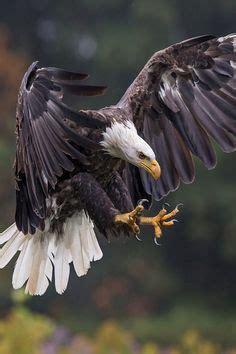 Imagen gratis en Pixabay   Águila, Retrato, Silvestre, Ave ...