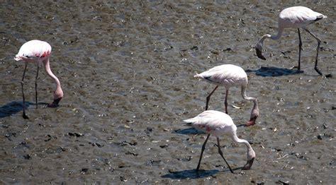 Imagen gratis: Flamenco, pájaro, barro, pájaro, animal