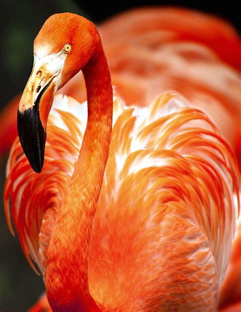 Imagen gratis: flamenco, plumaje, hermoso pájaro, plumas
