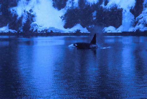 Imagen gratis: masculino, asesino, ballena, orcinus orca