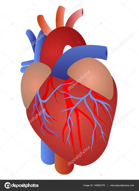 Imágenes: corazon anatomia | Anatomía del corazón humano ...