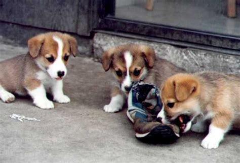 Imágenes de perros Corgi Galés de Pembroque – Descargar ...