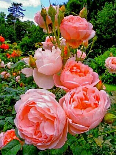 Imágenes de ROSAS las más Hermosas Flores
