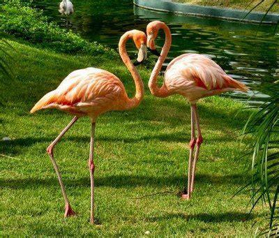Imágenes del mundo animal: Flamencos
