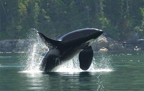 Imágenes del mundo animal: Orca