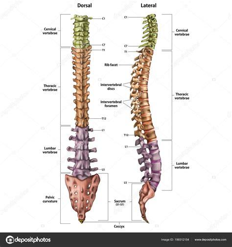 Imágenes: nombres de la columna vertebral | Ilustración ...