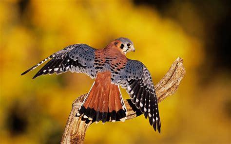 Imagens em hd alta definição: Aves de rapina