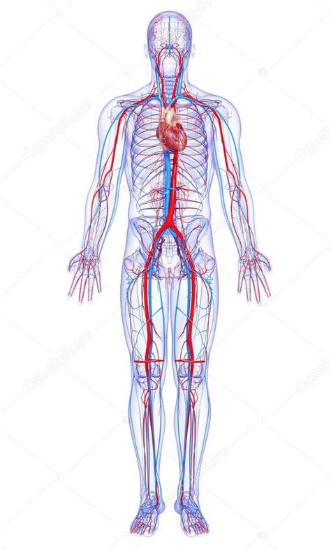 Immagini: apparato circolatorio | corpo intero apparato ...