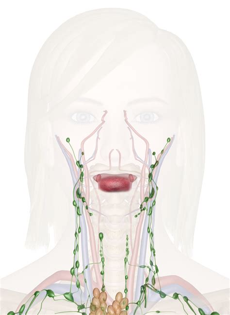 Immune and Lymphatic Systems of the Head and Neck