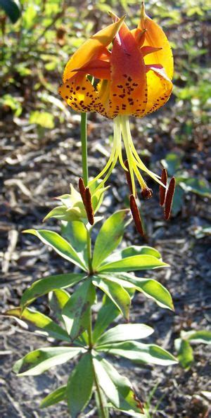 In 2003, the General Assembly designated the Carolina Lily ...