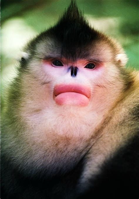 In Conversation with Snub nosed Monkeys Photographer, Xi ...