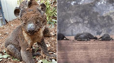 Incendio cobra vida de la mitad de la población de koalas ...