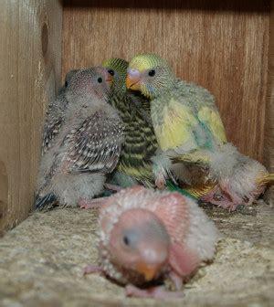 Infertilidad en aves exóticas   Infoexóticos
