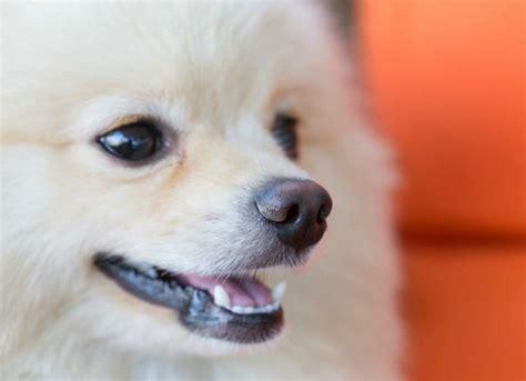 Inflamación crónica del ano, recto o perineo en perros ...