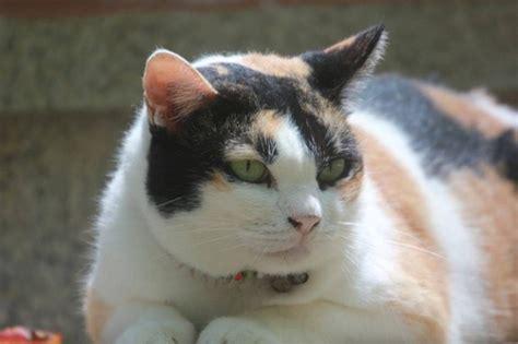 Inflamación de los ganglios linfáticos en gatos ...