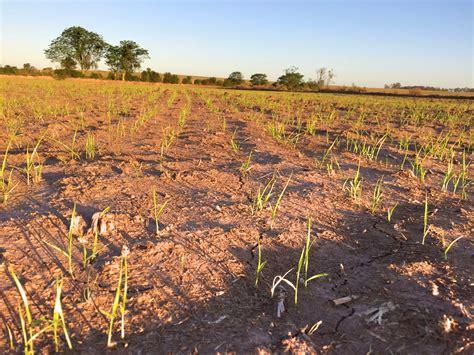 Influência da palha no controle de capim arroz com o ...