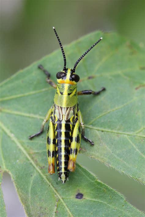 Información de la Especie   Diponthus argentinus Pictet ...