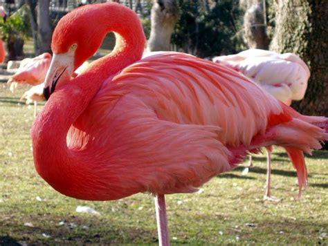 Información sobre el flamenco   Informacion sobre animales