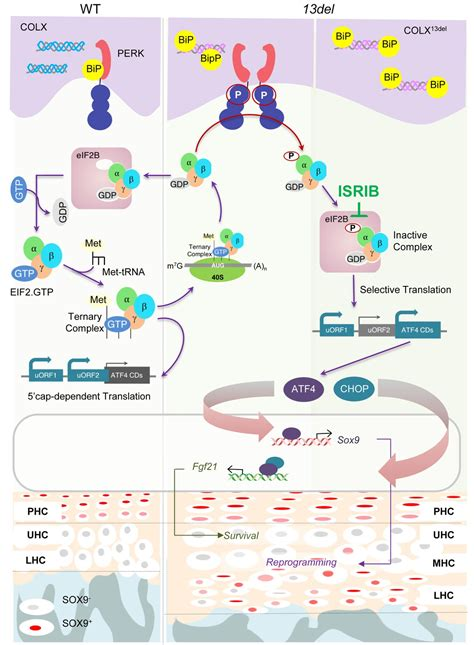 Inhibiting the integrated stress response pathway prevents ...