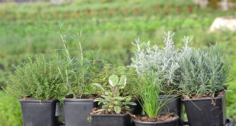 Innovan en agricultura con plantas aromáticas QRoo