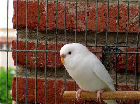 Ino budgerigar mutation   Wikipedia