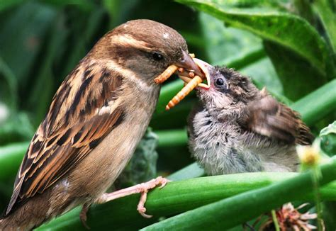 Insectivorous birds consume annually as much energy as the ...