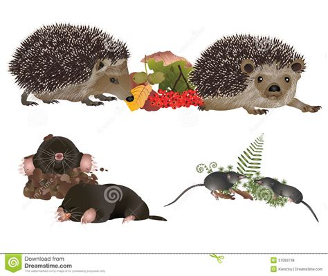 Insectivorous Mammals Royalty Free Stock Photos   Image ...