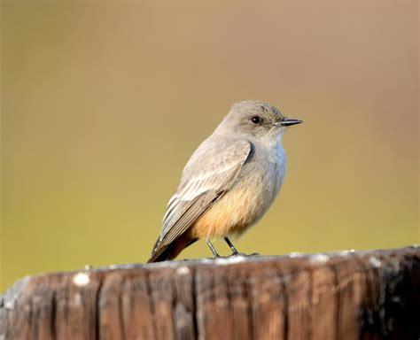 Insectivorous Western birds | Crystal Beach Local News ...