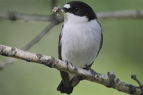 Insects Are a Nutritious Diet for Insectivorous Birds