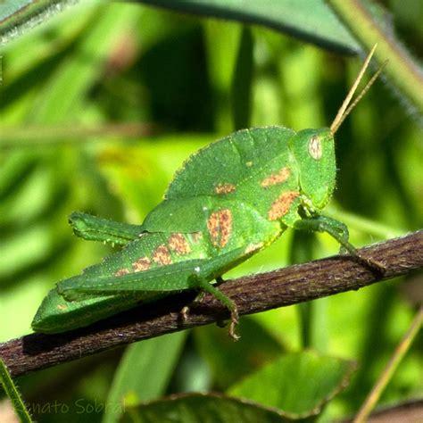 Insetologia   Identificação de insetos: Ninfa de Gafanhoto ...