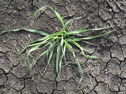 Integrated tactics essential for wild oats control   Grain ...