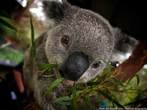 Interesting facts about koalas   Amazing animal pictures ...