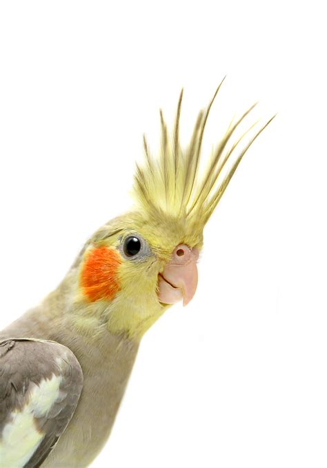 Introduction To Cockatiel Care   Lessons   Tes Teach