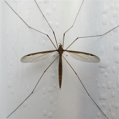 Invasión de mosquitos gigantes en Buenos Aires ...