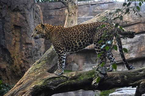 Invierno 2019. Leopardo en el bosque ecuatorial de BIOPARC ...