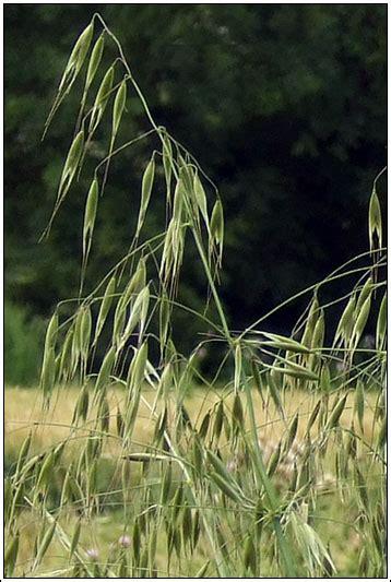 Irish Grasses   Wild Oat