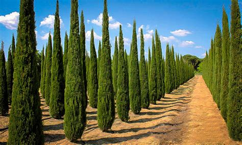 Italian Cypress For Sale Online | The Tree Center