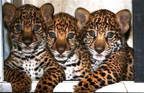 jaguar Archives   Animal Fact Guide