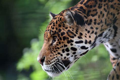 Jaguar escapes enclosure, attacks monkey at Texas zoo ...