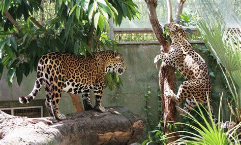 Jaguar | Zoo Barcelona