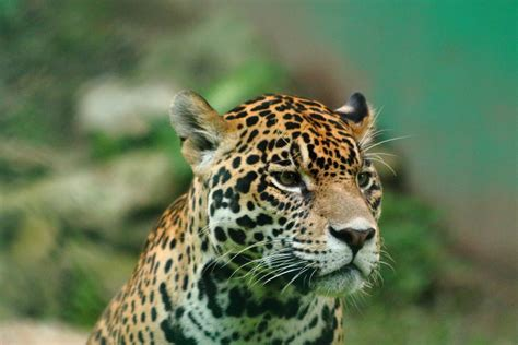 Jaguares en peligro: un estudio revela que su estado de ...