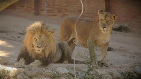 Jardim Zoológico   BI Leão africano  Animais Anónimos ...