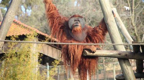 Jardim Zoológico   Orangotango de sumatra  Pongo abelli ...
