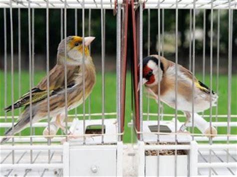 Jaulas con pájaros cantores en el XIV Concurso de Canto de ...