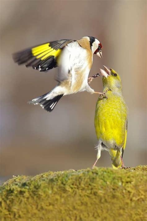 .Jilguero y Canario | Animales | Aves pajaros, Pájaros ...
