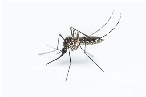 Johns Hopkins researchers discover fungus fueling dengue ...