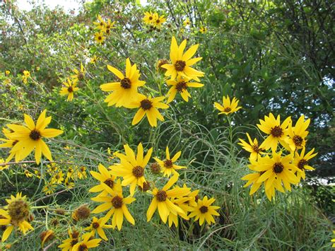 Kansas is the Sunflower State   Dyck Arboretum