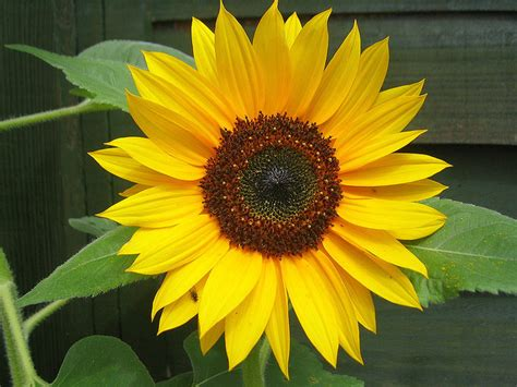Kansas State Flower | Native Sunflower